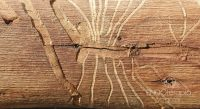 Fig. c – Galerías realizadas por larvas de Phoracantha en ejemplar de eucalipto.