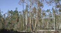 Fig. d – Eucaliptos afectados por Phoracantha.