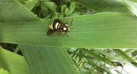 Fig. a – Ejemplar adulto de Sesia apiformis.