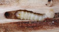 Fig. b – Oruga de Paranthrene tabaniformis.