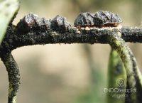 Fig. a – Afectación de Saissetia oleae sobre brote de Olea europaea.