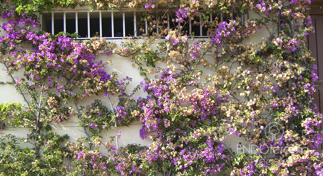 Fig. h – Bougainvillea afectada por cochinilla.