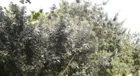 Fig. b – Severa afectación de mosca blanca sobre Ficus.