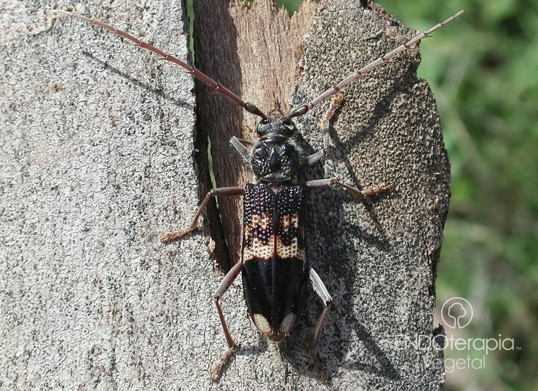 Fig. a – Adulto de Phoracantha.