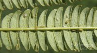 Fig. b – Albizia leaf with adults and eggs.