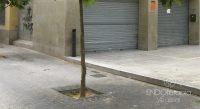 Fig. c – Tache sur le pavage urbain due à l'excrétion de mélasse de psylle.