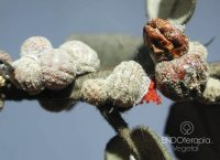 Fig. a - Hembras adultas mostrando los huevos de color rojo en su interior.