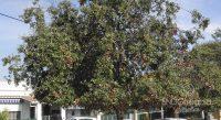 Fig. c - Dégât causé par Kermes sur un exemplaire de Quercus ilex.