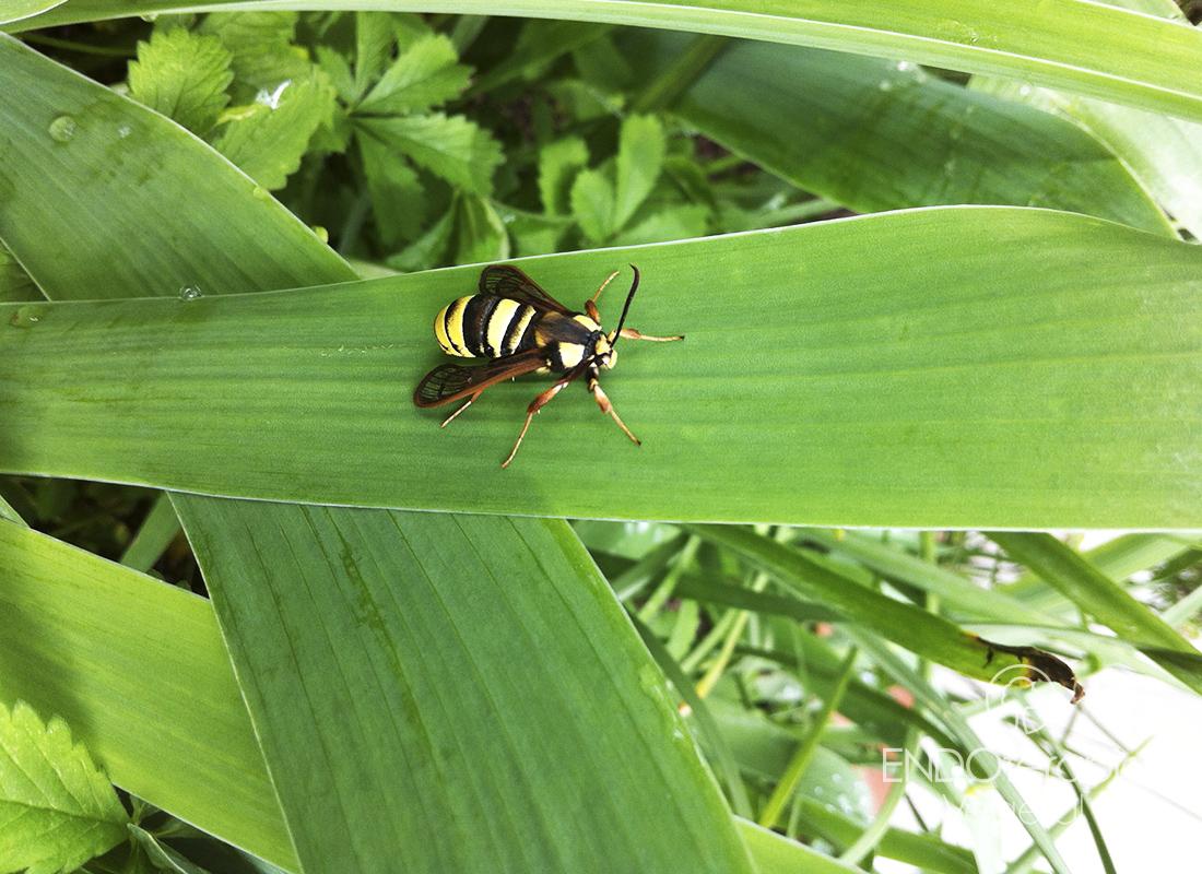 Fig. a – Exemplaire adulte de Sesia apiformis.