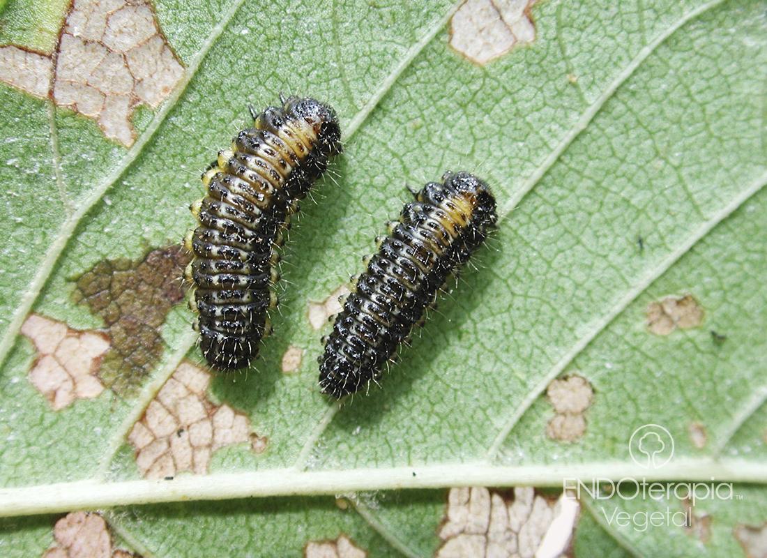 Fig. a - Larvas de Galeruca.