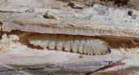 Fig. c – Detalle de la larva.