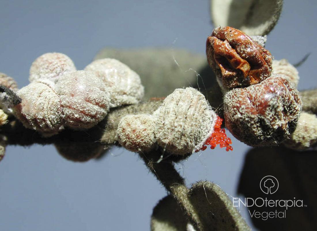 Fig. a - Femelles adultes montrant les œufs de couleur rouge dans leur intérieur.