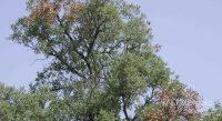 Fig. d – Sèche de branches en liège par une attaque de C.florentinus.