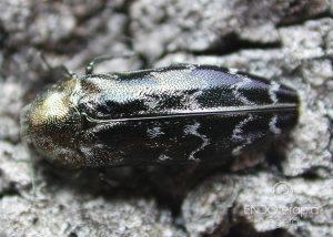 Fig. a – Particolare di adulto di perforatore della quercia da sughero, C.undatus.