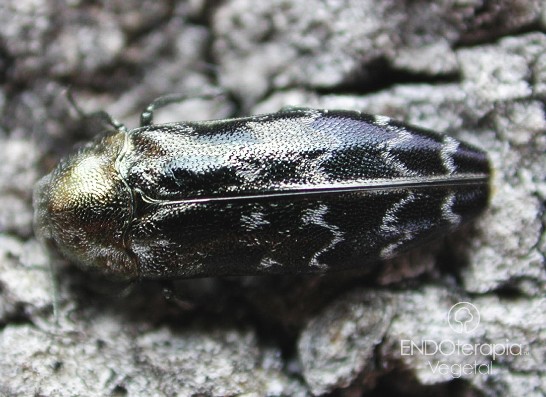 Fig. a – Detalle de un adulto de la culebrilla del corcho.