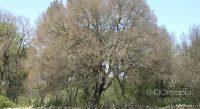 Fig. c - Ejemplar de Quercus ilex totalmente defoliado por la acción de la Lymantria.