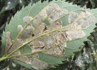 Fig. a – Galerías formadas por ninfas de Phyllonorycter.