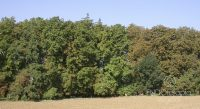 Fig. e - Result obtained with plant endotherapy treatment (ENDOterapia Vegetal®) in horse-chestnut trees. The horse-chestnut trees from the middle of the image to the left were treated, they are green and healthy; those from the middle of the image to the right were left as evidence, they suffered a severe attack by Cameraria, leaving them with completely discoloured leaves.
