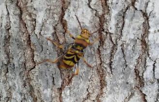 Uno de los escarabajos avispa detectado en Sagunt.