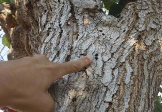 Las huellas del escarabajo avispa dejadas en la corteza de una morera en Quartell